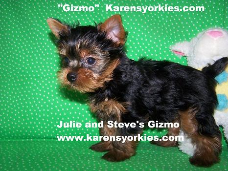 Yorkies for sale, Yorky breeder, Yorky puppies, Yorkshire terrier, Yorkshire terriers for sale, teacup yorky, colorado, denver colorado, denver, dallas, california, wisconsin