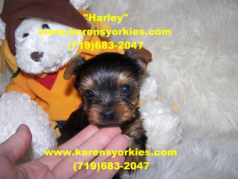 Yorkies for sale, Yorky breeder, Yorky puppies, Yorkshire terrier, Yorkshire terriers for sale, teacup yorky, colorado, denver, denver colorado,