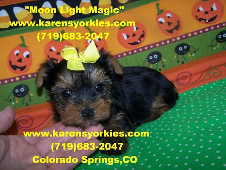 Yorkies for sale, Yorky breeder, Yorky puppies, Yorkshire terrier, Yorkshire terriers for sale, teacup yorky, colorado