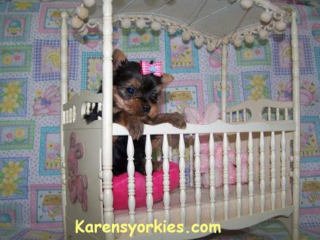 Yorkie Puppies for sale, Yorkies for sale, yorkie puppy